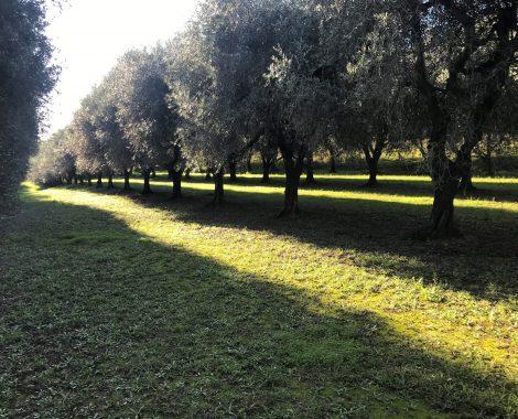 TOP vue d'ensemble plusieurs planches d'oliviers