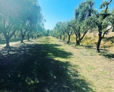 oliveraie 0621 4