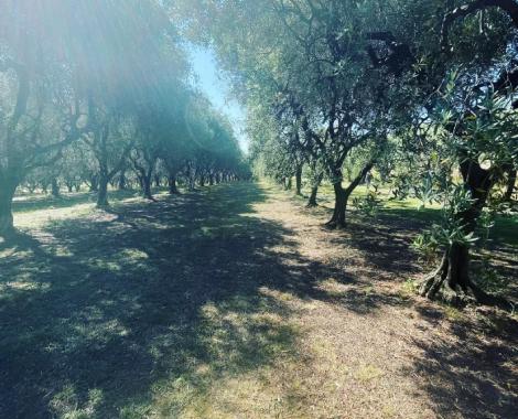 oliveraie 0621